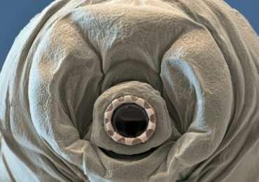 animali-immortali-tardigradi