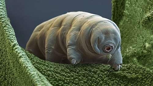 animali immortali tardigradi