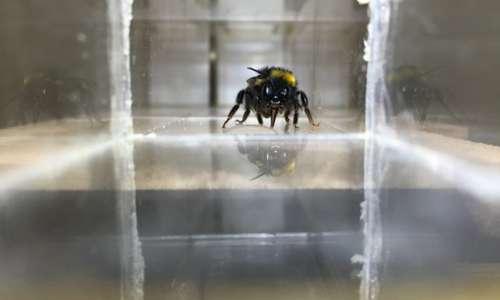 Un'ape che aspetta il suo zucchero è l'immagine simbolo dell'esperimento di Perry. L'ipotesi delle api felici potrebbe aprire nuovi orizzonti sul comportamento generale degli insetti.