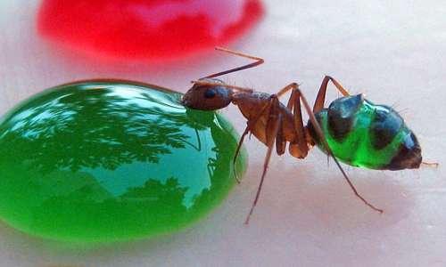 formiche-trasparenti