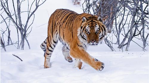 tigri-siberiane