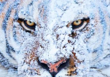 tigri siberiane