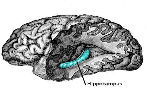 Amnesia infantile, che cos'è: il perché del suo verificarsi si verifica, secondo alcune teorie, potrebbe dipendere dall'ippocampo..
