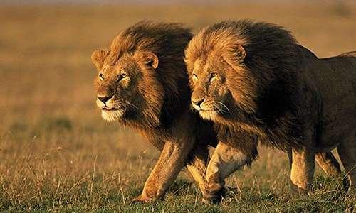 two-male-lions-kenya-631-jpg__800x600_q85_crop