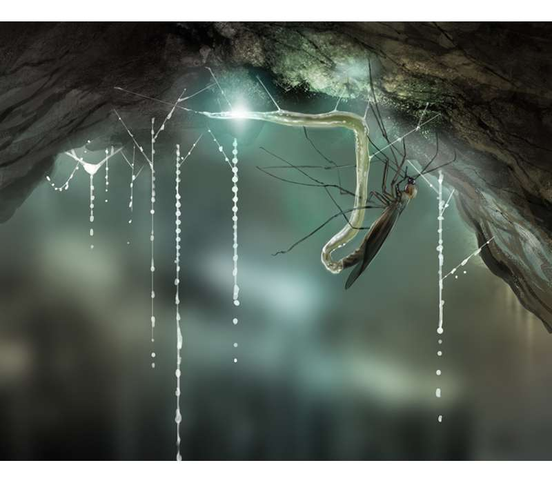 nelle Waitomo Glowworm Caves in Nuova Zelanda l'insetto bioluminescente Arachnocampa luminosa capace di emettere luci