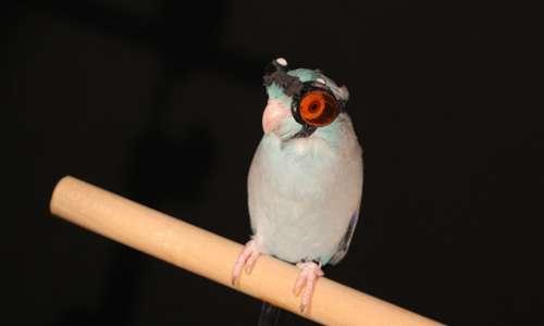 Uccello pilota sul trespolo di partenza prima del volo d'esame