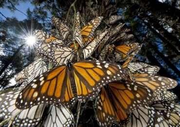 Le farfalle monarca sono alcuni degli insetti capaci di migrazione studiati dal team di Chapman. Anche questi sono animali che migrano.
