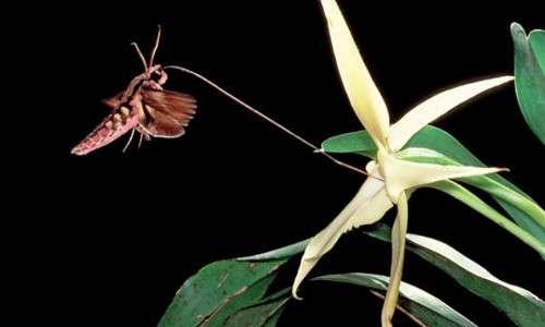Charles Darwin studiò molto gli effetti dell'inbreeding sulle piante, tra cui l'orchidea del Madagascar