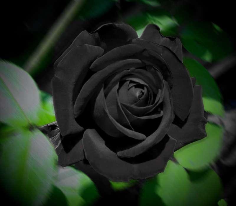 La rosa nera di Halfeti è un fiore che esiste in natura