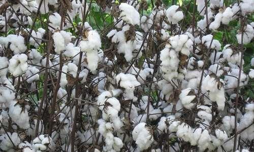 Dalle fibre del cotone si ricava la cellulosa, materia prima per il nuovo materiale ecosostenibile