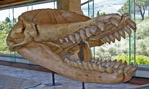 Cranio di capodoglio estinto, una delle prede preferite del Megalodonte