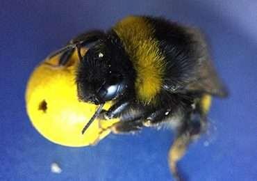 I bombi, dei tipi di api, mostrano un'intelligenza particolare pur essendo dei semplici insetti.