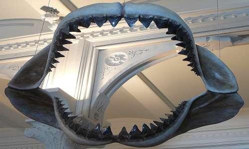 """la mascella di un gigantesco squalo Megalodonte. Il nome Megalonte deriva da megalodon, """"grande dente""""."""