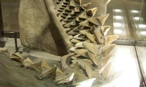 Modello ricostruito della dentatura di Megalodonte.