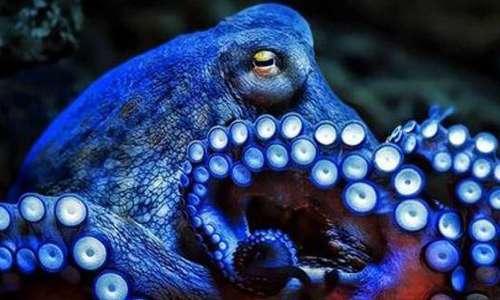 Il polpo è l'octopus vulgaris, comunemente consumato nelle insalate di mare