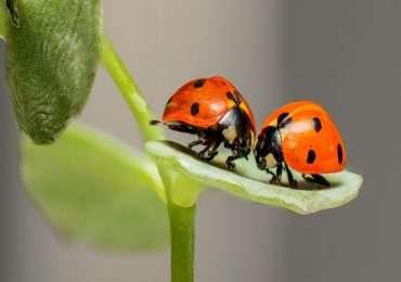 Comunicare di essere pronti per l'accoppiamento in alcune specie animali avviene attraverso il rilascio di feromoni