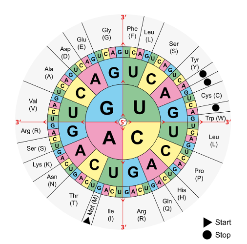 Codice genetico: ecco cos'è l'insieme di regole universale per la costruzione delle proteine