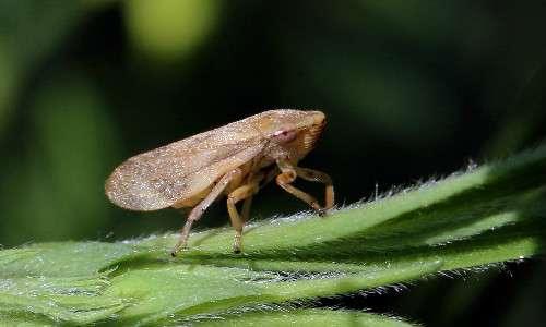 La difficile cura per l'olivo pugliese da xylella fastidiosa è messa ancora più in crisi dalla diffusione dell'insetto vettore Philaenus spumarius.