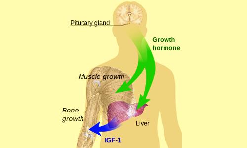Il sistema ipotalamo-ipofisario regola la produzione dell'ormone della crescita (GH).