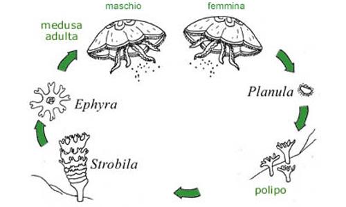In questa immagine è rappresentato il ciclo vitale di una medusa, che passa attraverso una forma di vita bentonica chiamata polipo