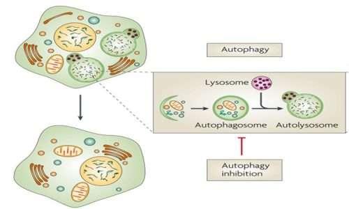La biologia molecolare con l'aiuto della genetica ha fornito negli ultimi decenni impotanti dettagli al processo dell'autofagia.