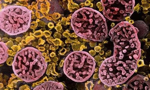 Codice genetico non è proprio universale: i mitocondri fanno eccezione
