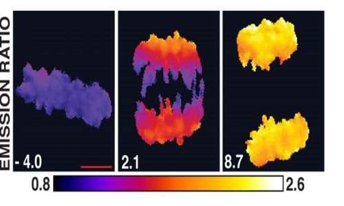 Uno degli esempi del gradiente di proteine emerso in biologia molecolare, arricchendo le nozioni della genetica, è rappresentato dal dinamismo della fosforilazione di proteine durante la fase di divisione cellulare.