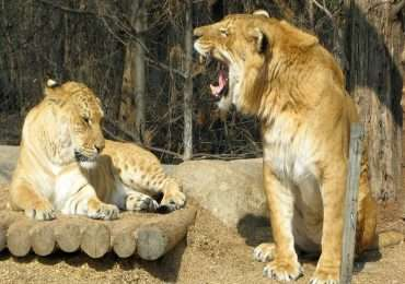 Non tutti sanno che dall'incrocio tra la tigre femmina ed il leone maschio ha origine il ligre e che questo animale detiene un primato: il felino più grande al mondo.