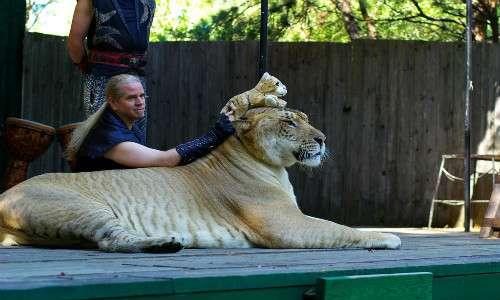 Hercules detiene il record di felino più grande al mondo, in particolare è il ligre più grande, animale che nasce dall'incrocio tra la tigre femmina e il leone maschio.