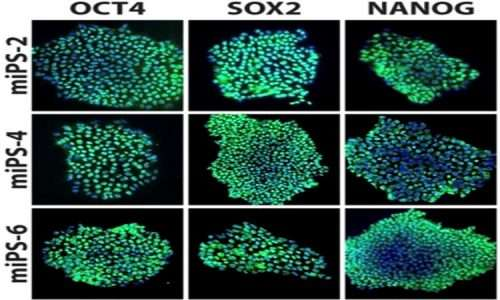 Una delle più sorpredneti scoperte della biologia molecolare degli ultimi anni è la capacità di indurre cellule staminali pluripotenti da cellule mature. mediante l'induzioni di quattro geni chiave.