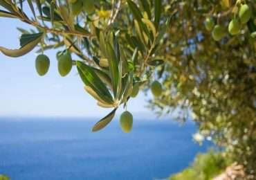 L'olivo e tantissime altre specie di piante sono state colpite da xylella fastidiosa, il batterio di cui non si riesce a trovare cura.