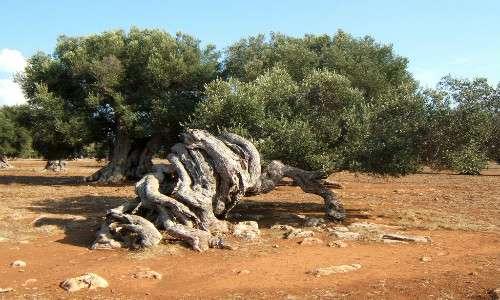 L'olivo pugliese necessita di una soluzione e di una cura a causa dell'attacco del batterio xylella fastidiosa.
