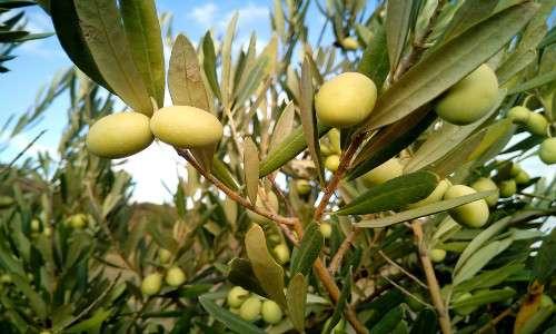 xylella fastidiosa colpisce soprattutto piante a scopo agricolo, ad esempio l'olivo, perciò è necessaria una cura.