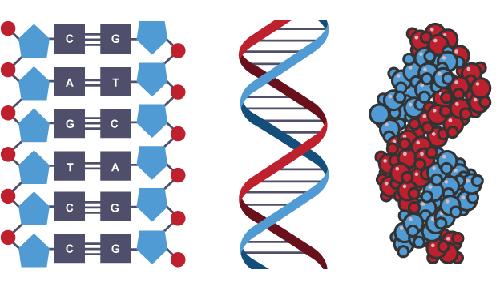 Il DNA rappresentato in tre diversi modi, evidenziando i nucleotidi primi, e mostrandolo tridimensionalmente poi.