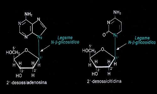 All'interno de il DNA sono presenti tanti legami N-glicosidici quanto è il numero dei nucleotidi che contribuiscono alla struttra del DNA.