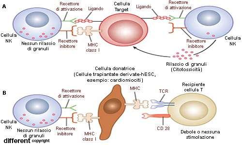 La presenza o l'assenza del complesso maggiore di istocompatibilità di classe I è il sistema alla base della capactà dei linfociti natural killer di distruggere solo le cellule tumorali o infette.