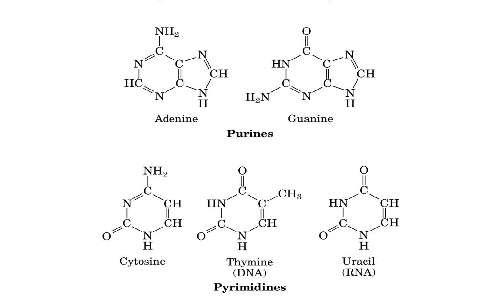 Le basi azotate presenti differenziano i nucleotidi che costituiscono il DNA.