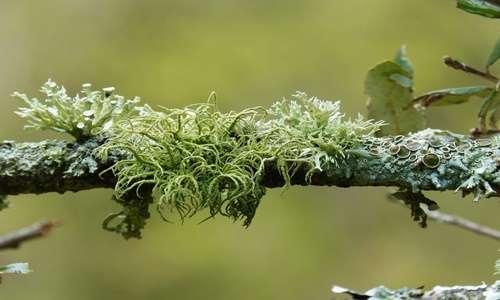 Immagini di comunità licheniche miste con licheni fruticosi