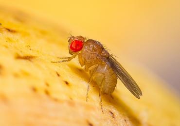 I moscerini della frutta sono ampiamente utilizzati nella ricerca.