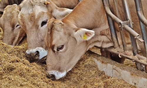 Riducendo il numero di allevamenti intensivi diminuisce la quantità di gas serra