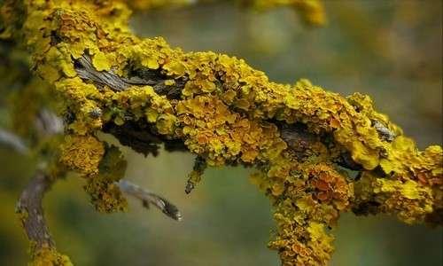 Nelle immagini sono presenti licheni epifitici della specie Xanthoria parietina.