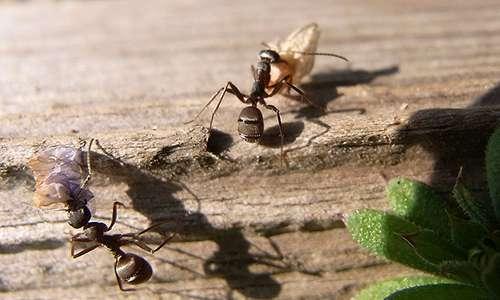 I ricercatori hanno applicato ILG su esemplari di formica japonica, resa quindi capace di portare a termine l'impollinazione.
