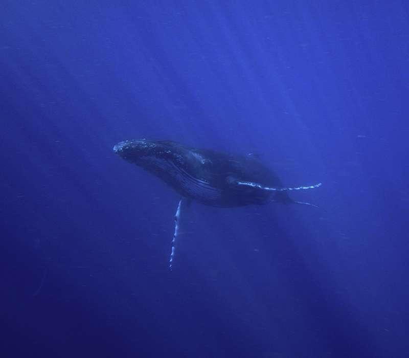 La megattera allontana le orche che attaccano altri animali scuotendo le pinne e la grande coda