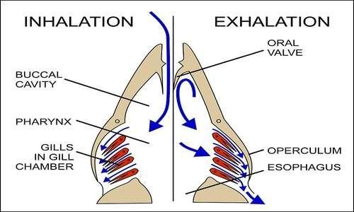 Tra i muscoli più importanti implicati della respirazione ci sono il diaframma e gli intercostali. Il funzionamento del polmone d'acciaio si inspira proprio a questi.