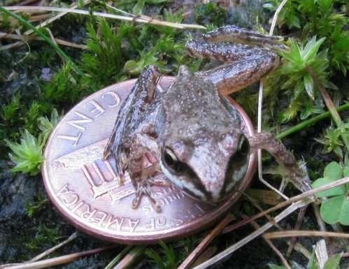 Essendo poco più grande di una moneta da 5 centesimi anche quando la rana va in letargo riesce a confondersi con l'ambiente circostante.