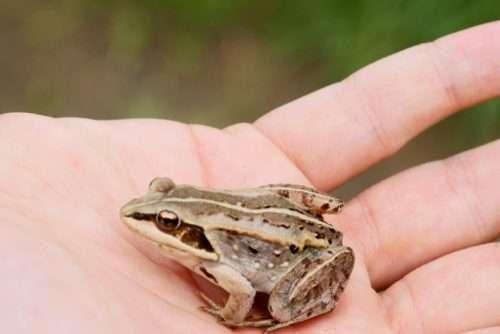 Quando la rana va in letargo riduce al minimo tutti i suoi processi vitali per apparire rigida, come un pezzo di legno.