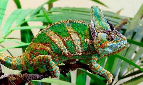 Il camaleonte cambia colore in stato di eccitazione, grazie all'azione di micro-cristalli di guanina che riflettono in maniera differenziata la luce.