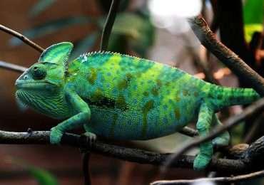 Il camaleonte, considerato un tempo capace di mimetismo, cambia colore in situazioni di stress o di stimoli particolari.