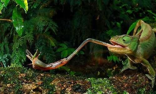 La lingua del camaleonte, lunga fino a 2,5 volte la lunghezza dell'esemplare, gli permette di imprigionare le prede grazie alla particolare viscosità della saliva, che conferisce un potere adesivo