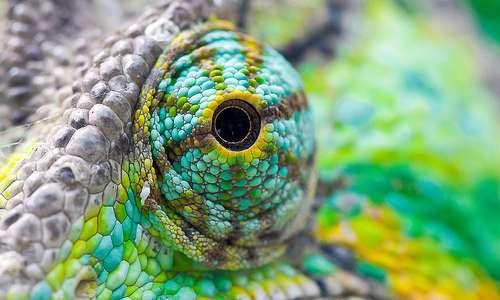Gli occhi del camaleonte possono muoversi indipendentemente, monitorando due prede diverse. I due emisferi cerebrali conoscono tuttavia ciò che entrambi gli apparati oculari stanno guardando.